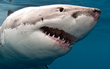 Great White Shark Attacks Diving Cage South Africa