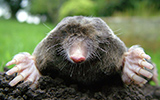 Mole Problem? Call This Guy!