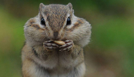 Chipmunk Caught Red Handed. Priceless Reaction..