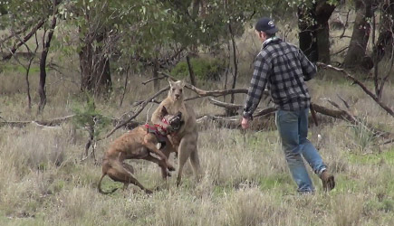 Man & Dog vs Kangaroo
