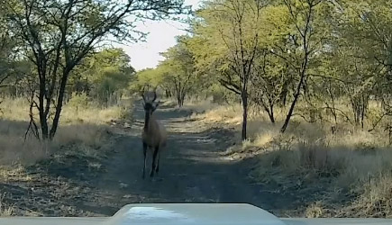 Hartenbeest vs Truck