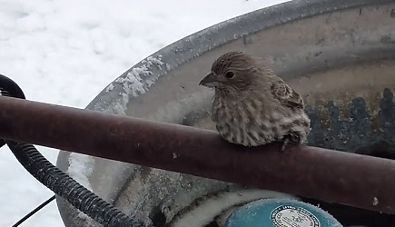 Bird Frozen To Fence Rescue