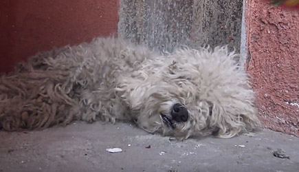 Hope For Paws - Yankee Poodle