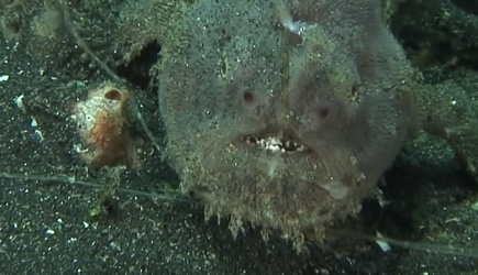 True Facts About Frog Fish