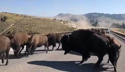 Bison Stampede Yellowstone